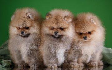 глаза, мордочка, взгляд, щенки, собаки, трио, шпиц
