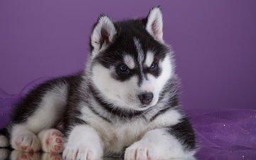 глаза, взгляд, собака, щенок, хаски, порода