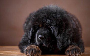 мордочка, собака, щенок, тибетский мастиф, кавказская овчарка, мастиф