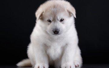 глаза, мордочка, взгляд, собака, щенок, порода, акита