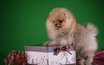 цветы, собака, щенок, порода, коробка, шпиц