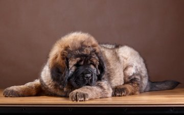 шерсть, собака, щенок, порода, тибетский мастиф, кавказская овчарка