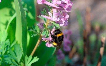 цветы, природа, макро, насекомое, шмель