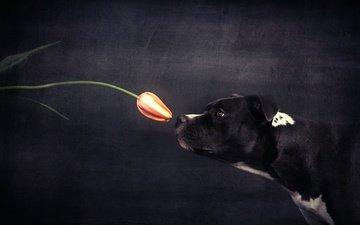 цветок, собака, профиль, черный фон, тюльпан