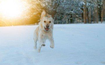 eyes, face, snow, winter, look, dog, running