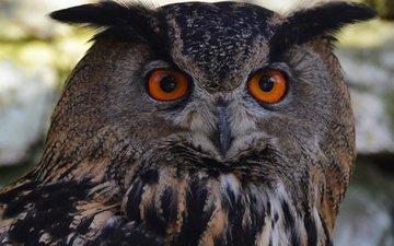 глаза, сова, взгляд, птицы, филин