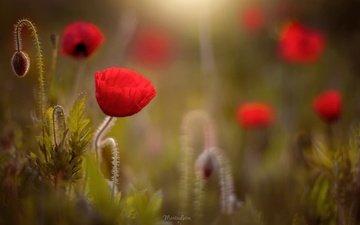 свет, цветы, лето, красные, маки, мак