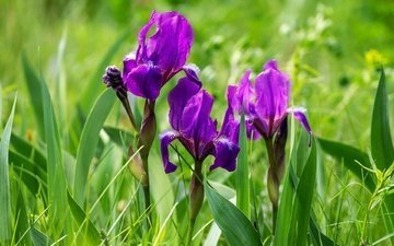 цветы, трава, фиолетовый, весна, ирисы, ирис