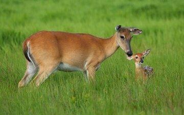 трава, мама, малыш, олени, косуля, олененок, косули