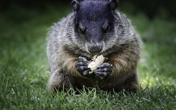 grass, animal, walnut, marmot, bokeh
