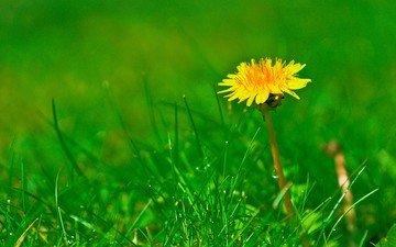 трава, цветок, поле, одуванчик