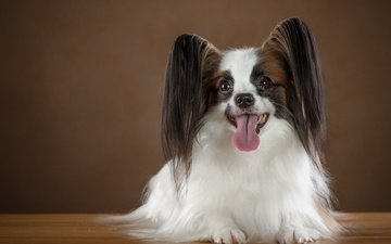 eyes, look, dog, ears, language, breed, papillon