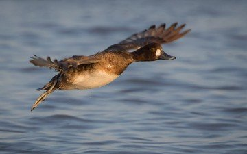 вода, полет, крылья, птица, клюв, перья, утка