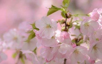 ветка, цветение, макро, весна, вишня, сакура, цветки
