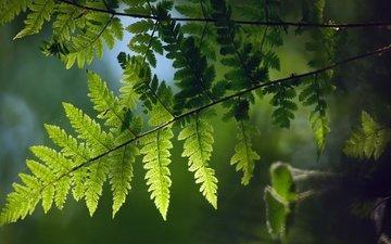 ветка, природа, растения, листья, макро, фон, папоротник
