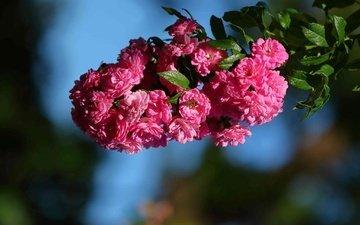 цветы, ветка, макро, шиповник, цветки