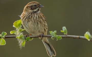 branch, nature, bird, oatmeal, reed bunting