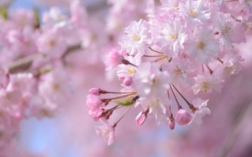 ветка, цветение, весна, розовый, сакура