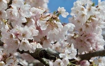 цветение, ветки, весна, сакура