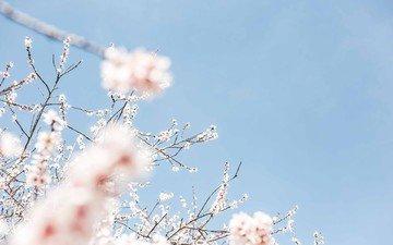 небо, цветение, весна, вишня
