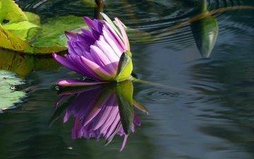 вода, отражение, цветок, кувшинка, нимфея, водяная лилия