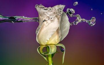 вода, фон, цветок, капли, роза, бутон, всплеск, белая, sophiaspurgin