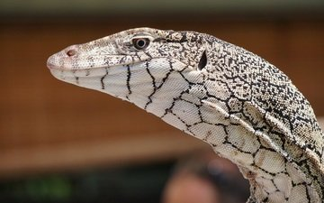 взгляд, ящерица, кожа, рептилия, боке, варан