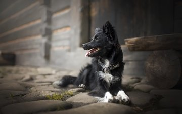 look, dog, collar, language, the border collie, alicja zmysłowska