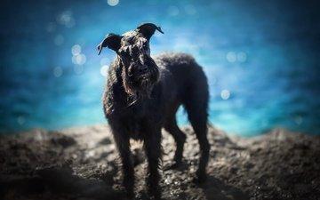 берег, море, взгляд, собака, alicja zmysłowska