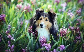 цветы, взгляд, собака, друг, гиацинты, шелти, шетландская овчарка