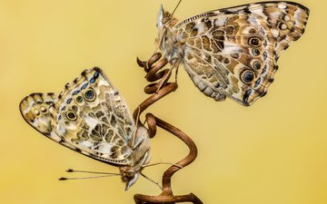 желтый, макро, фон, бабочка, насекомые, бабочки, стебель, лоза, виноградная лоза, sophiaspurgin