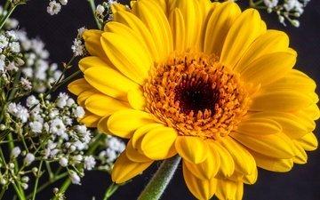 цветы, желтый, макро, белый, гербера, гипсофила