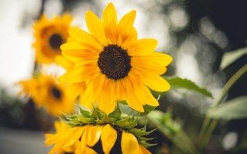 цветы, лепестки, подсолнухи, желтые