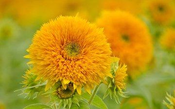 цветы, природа, лепестки, подсолнухи, желтые
