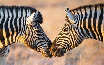 зебра, животные, африка, зебры