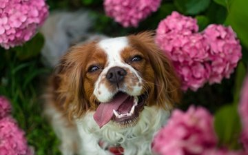 flowers, dog, language, spaniel, hydrangea, the cavalier king charles spaniel