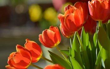цветы, бутоны, макро, букет, тюльпаны, боке