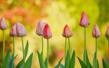 flowers, buds, background, tulips