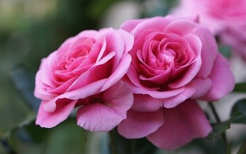 бутоны, макро, розы, букет, розовый