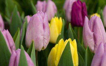 цветы, бутоны, разноцветные, тюльпаны