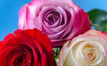 цветы, бутоны, розы, букет