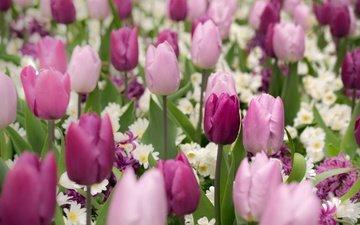 цветы, бутоны, весна, тюльпаны, примула, гиацинт