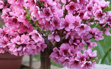 цветение, весна, вишня