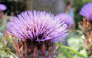 цветок, фиолетовый, бутон, иголки, колючка, чертополох