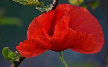 flower, petals, red, mac