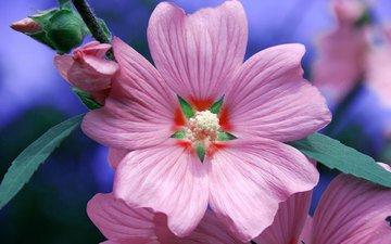 цветок, лепестки, красота, розовый, примула