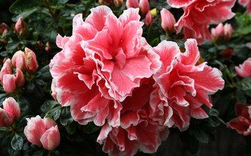 цветы, цветок, лепестки, бутон, азалия, рододендрон