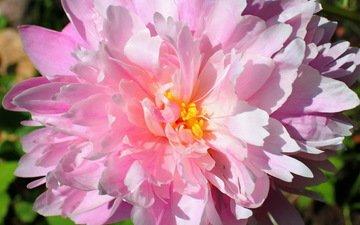 цветок, лепестки, бутон, розовый, пион