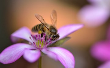 насекомое, цветок, лепестки, крылья, розовый, пчела