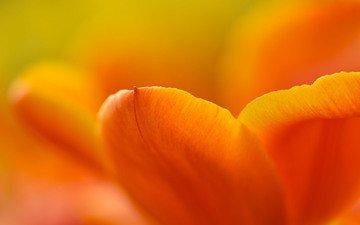 желтый, цветок, лепестки, тюльпан